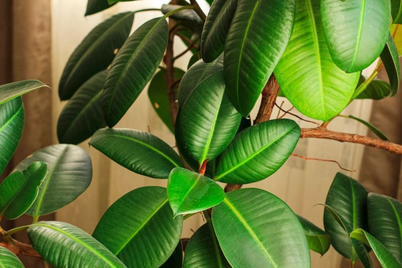 Top 6 Big Houseplant to Substitute Your Christmas Tree
